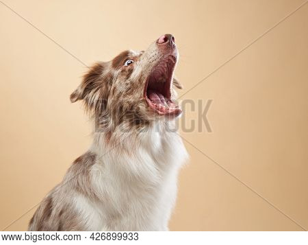 The Dog Catches A Piece. Expressive Marble Border Collie. Funny Pet On On A Beige Background