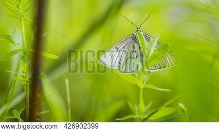 Large Butterfly With Rigid Wings With A Distinct Black Nervatura. White Beautiful Butterfly Aporia C