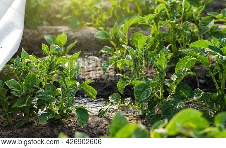 Potato Bushes And Water Flow. Growing Food On A Farm Plantation. Farming Furrow Irrigation System. A