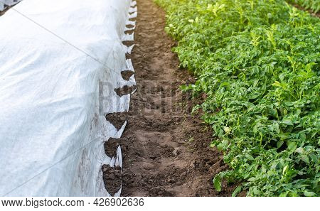 Rows Of Potato Bushes On A Plantation Under Agrofibre And Open Air. Hardening Of Plants In Late Spri