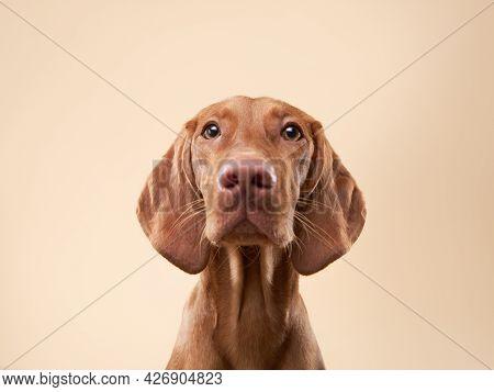 Funny Dog Portrait. Hungarian Vizsla On A Beige Background