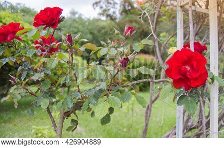 A Bush With Red Roses In The Open, Near A Metal Trellis, A Selective Focus