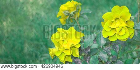 Three Beautiful Yellow Roses On A Bush In The Open, Selective Focus, Copy Space, Banner
