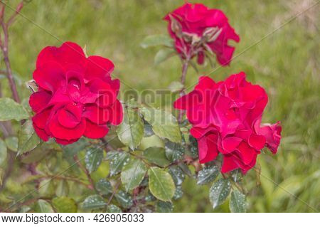 Three Beautiful Red Roses On A Bush In The Open, Selective Focus