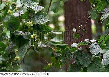 Young Hazelnut, Green Hazelnuts, Grow On A Tree Young Hazelnuts, Hazelnuts, Kobnat. Hazelnut With Le