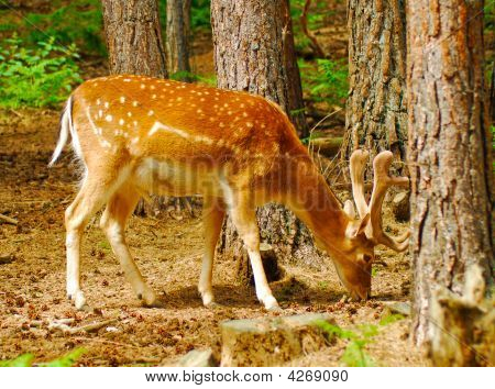 Orange Deer Eating