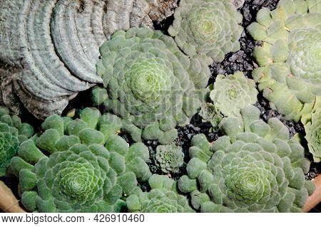 Aeonium Closeup. Succulent Plant Background Close Up