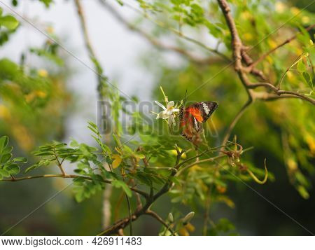 Butterfly Was Drinking Nectar Next To The Wasp Flower Drumstick Tree, Insect Animal