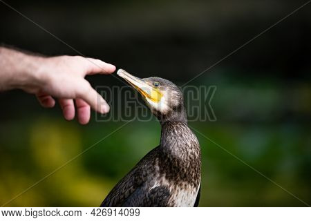 Cormorant, Phalacrocorax Carbo. A Man's Hand Reaches For The Cormorant's Beak.