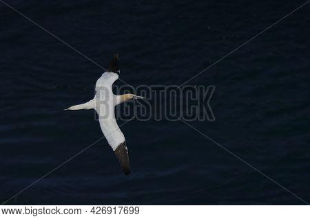 Northern Gannet (morus Bassanus) Flying Along The Coast Of Skomer Island In Pembrokeshire, Wales, Un