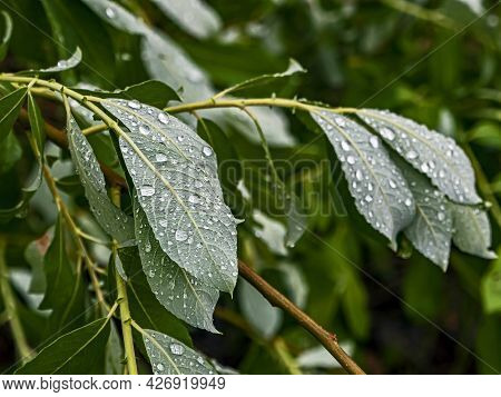 Raindrops On Leaves In Cloudy Rainy Weather, Macro