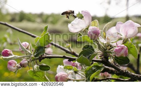 The Bee Collecting Nectar From Pink Fruit Blossom. Apple Peach Garden
