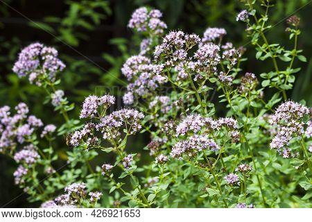 Beautiful Oregano Flowers In A Summer Garden.