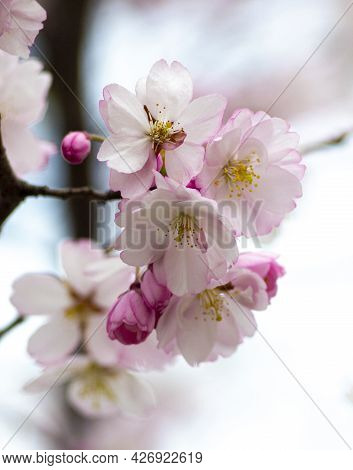 Spring Background Blooming Garden Blooming Twig.twig With Flowers