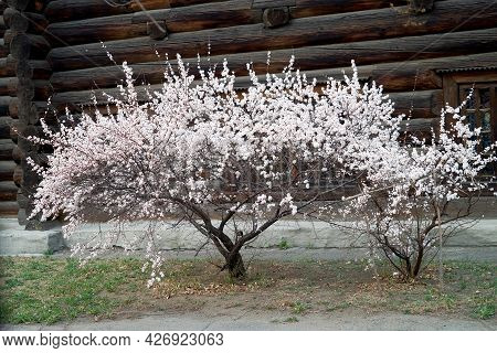 Blooming Cherry Bush On The Background Of An Old Wooden House, White Cherry, Flowers In Spring, Bloo