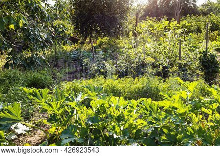 Green Home Garden With Zucchini And Tomato Beds Lit By Evening Sun In Village In Summer