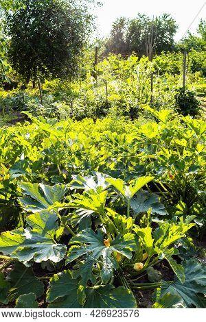 Zucchini Plantation In Green Home Garden Lit By Evening Sun In Village In Summer