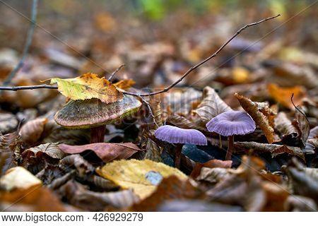 Satans Bolete Or Rubroboletus Satanas Mushroom Growing Next To A Couple Of Amethyst Deceiver Or Lacc