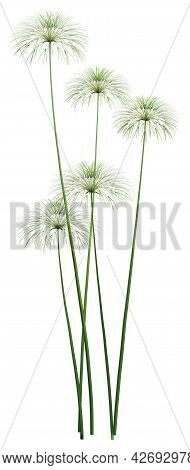 3d Rendering Of Papyrus Plants Or Cyperus Papyrus Or Nile Grass Isolated On White Background