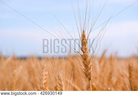 Spikelets Gold Color, Backlit, Blue Sky, Natural Summer Background. Ripening Wheat Backlit By The Se