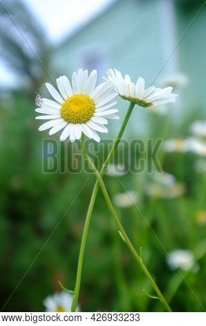 Small Beetle Landed On The White Petals Of A Flower Chamomile At A Blurred Background Of Greens. Ins