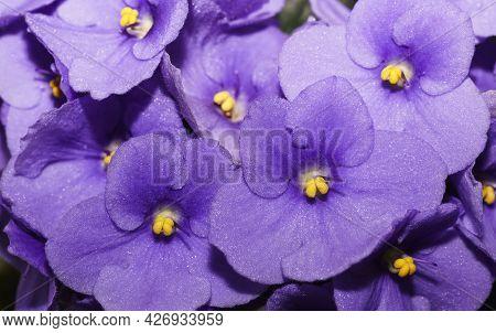 Violet Saintpaulias Flowers Commonly Known As African Violets Parma Violets, Violet Purple Lilac Flo