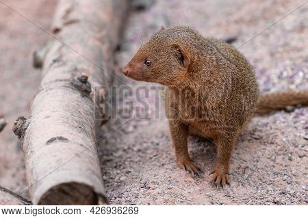 Cute Common Dwarf Mongoose, Helogale Parvula, On A Sandy Ground. Mongoose Species Native To Angola,