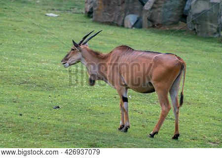 Detail Shot Of Common Eland, Taurotragus Oryx On A Grassy Ground. Savannah And Plains Antelope Found