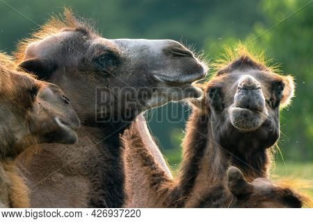 Detail Of A Group Of Bactrian Camels, Camelus Bactrianus, Also Known As The Mongolian Or Domestic Ca