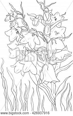 Bunch With Flower Bell, Leaf And Bud On White Background. Perennial Climbing Plant In Contour Outlin