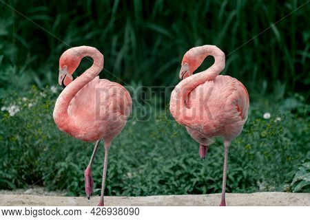 Detail Of Two American Flamingos, Phoenicopterus Ruber, In The Same Pose, With Silhouettes Clearly C