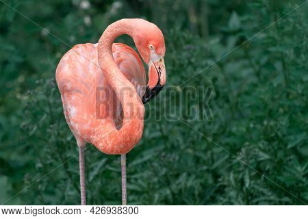 Detail Of American Flamingo, Phoenicopterus Ruber, With Its Silhouette Clearly Cut Against Darker Ba