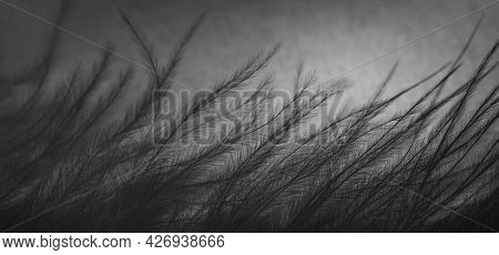 Bird Feather Abstract Background. Feather Texture Closeup, Macro. Banner. Fluffy Black Plume.