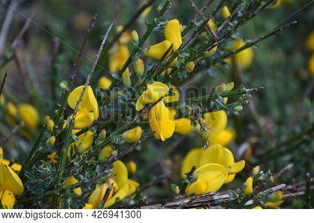 Flowering Yellow Irish Broom Bush On A Spring Day.