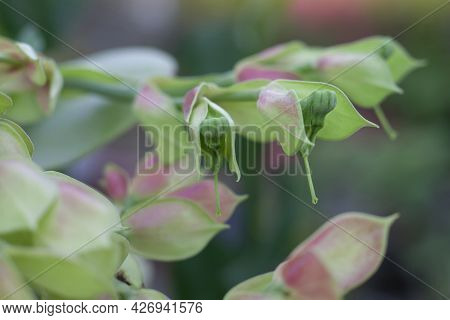 Candelilla, Tall Slipper Plant Or Slipper Spurge Bloom With Sunlight In The Garden.