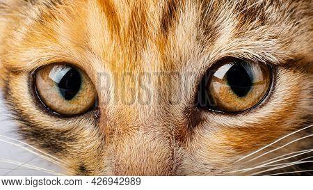 Cat Eyes Closeup, Pet Cat Look Sight