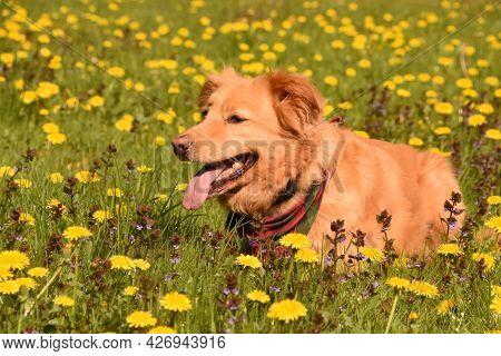 Very Cute Duck Tolling Retriever Dog In A Field Of Dandelions.