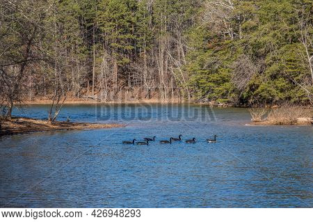 Flock Of Geese Swimming Together In A Row Going Across The Lake To The Other Shoreline Towards The W