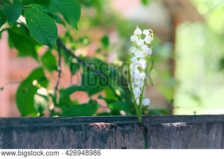 Lilly Of The Valley Flowers On Wooden Fence In The Garden. Summer Vibes