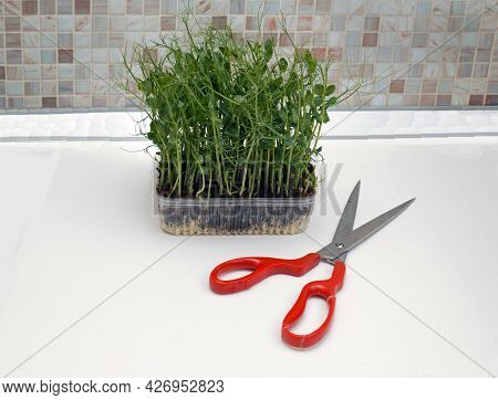 Pea Shoots Microgreens Plant With Large Scissors On Kitchen Table