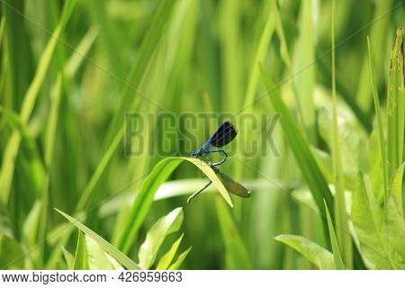 A Small Blue Dragonfly On The Green Leaves Of River Plants. High Quality Photo