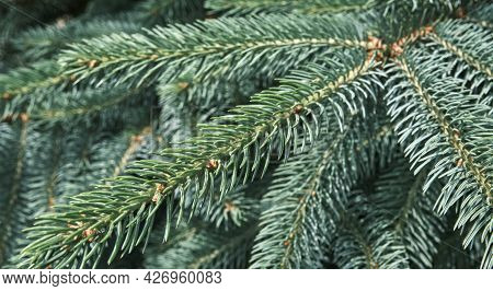 Close-up Branches Of Blue Spruce. Texture Of Coniferous Trees As Plant Background. Banner