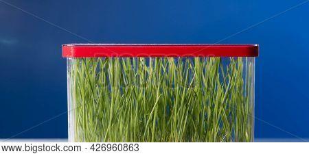Genetically modified plants in a scientific laboratory GMO plants in the laboratory