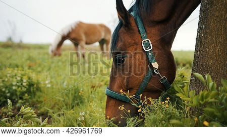 Horses Grazing In The Beautiful Field Meadows. Close-up View Of A Dark Bay Horse Eating Grass In The