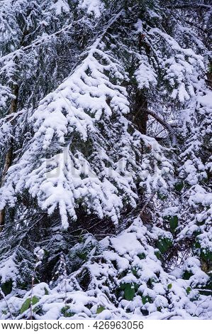 Spruce Branches Covered With Snow. Snow-covered Forest. Winter Landscape In The Forest.