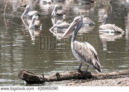 Black-winged Stilt Birds (himantopus Himantopus) On Water In Thailand - Nature Bird Of Thailand