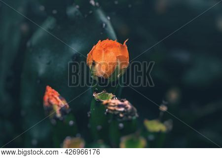 Beautiful Orange Prickly Pear Cactus Flower On A Background Of Green In The Garden