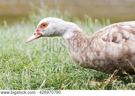 Side View Animal Portrait Of Brown Duck Bird With White Neck.