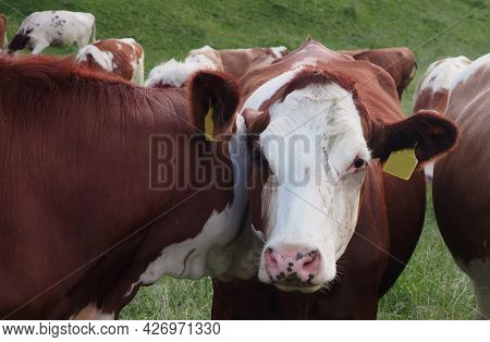 A Photo Of A Cow Looking At Me, Is A White-brown Cow, Agriculture, Farm Or Ranch