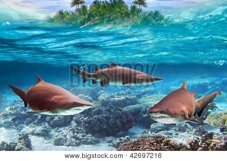 Dangerous bull sharks in the tropical shallow water